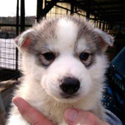 Cuccioli Di Siberian Husky Su Portobelloit Animali